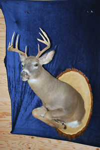 Bougie Taxidermie, Service complet , Valleyfield West Island Greater Montréal image 7