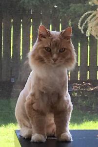 Lost Orange Cat in Elmvale