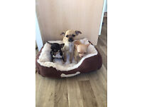 3 Chihuahua puppies 2girls and 1boy