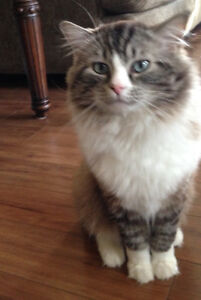 Male Ragdoll 3 Year Old Cat For Sale
