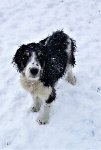 The Great Mountain Doodle  Crossbred pups ready now  & Christmas