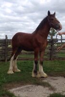 Weanling Clydesdale filly