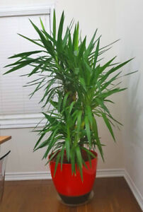Yucca Cane Indoor Plant almost 8 ft tall