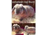Babe bucks for sale