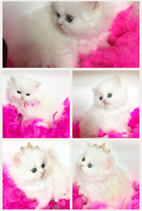 PUREBRED REGISTERED PERSIAN & HIMALAYAN KITTENS AVAILABLE