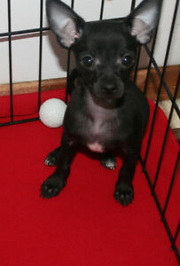 Chihuahua Pups for sale/1 yr Guarantee/Micro Chipped/Starter Bag