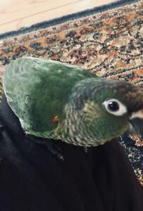 Hand Tamed Green Cheek Conure Baby