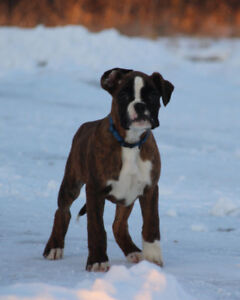 Only 3 pure bread boxer puppys left