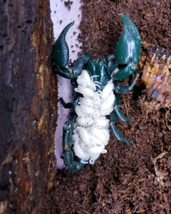 Asian Forest Scorpion's