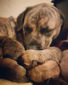 Perro de pressa canario pups
