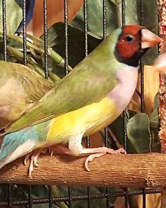 Gouldian Finch ~ Red Headed Females