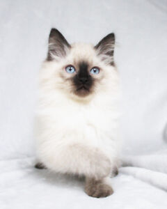 Seal Point Ragdoll Kittens for their New Homes