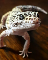 Looking to adopt unwanted lizards