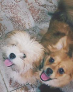 Adorable dogs(Chiots) Shih Tzu Mixed Breed Gift(cadeau)Negociabl