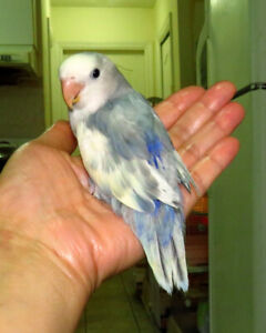 handfed lovebird baby BOY (whiteface blue pied)==ON HOLD