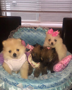 Pomeranian Puppies  ~True Tiny Teacup