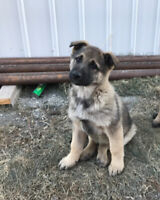 German Shepard x Norwegian Elkhound Puppies