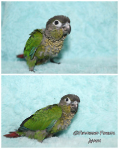 Handraised baby Green Cheek Conures 1 female left!