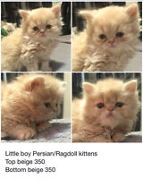 Adorable Ragdoll/Persian kittens. 2 males & 2 females left!!