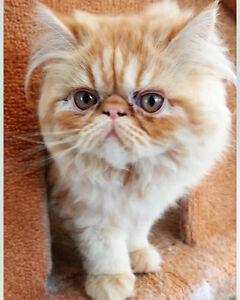 Beautiful short hair Persian kitten