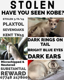Stolen Siamese cat Kobe *lilac point oriental