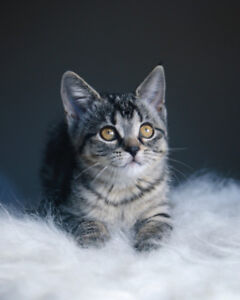 Jewel - rescued brown tabby female kitten for adoption