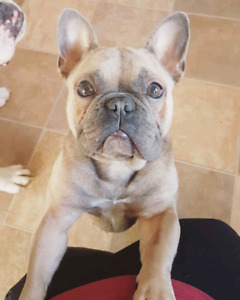 ADULT FRENCHIE LOOKING FOR  5 STAR HOME!