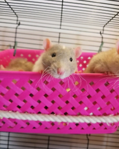 Adorable male rats available