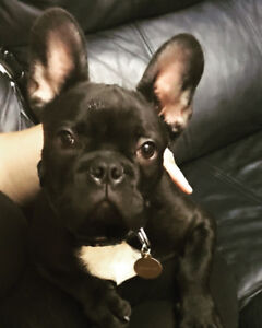 French Bulldog needs to be rehomed!