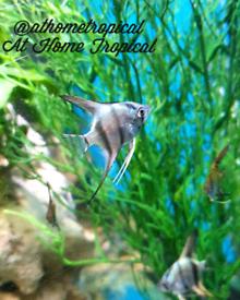 Tropical Angel Fish