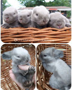Lots of Beautiful Purebred Holland Lop Bunnies ❤