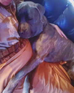 Experienced home needed for beautiful Cane Corso