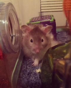 Long haired Syrian hamster to give!