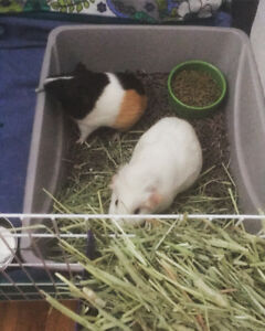 Two young healthy Female Guineapigs For rehoming.