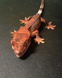 Many available Crested and Leopard Geckos - Reptile Race