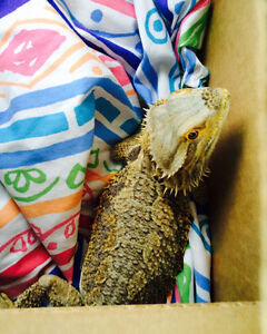 6 year old Male bearded dragon with full set up
