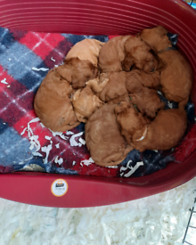 Red Cockapoo Puppies