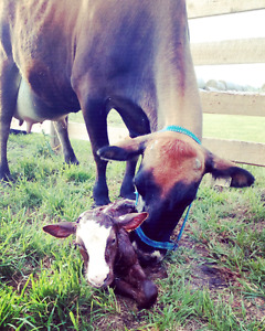 Jersey cow colostrum