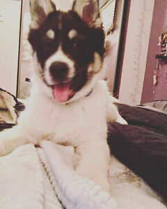 Paws for Love dog rescue has a 10 week husky mix for adoption