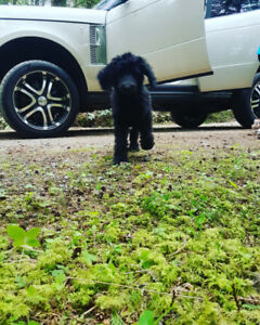 pure bred Standard poodle puppies Oct 5th