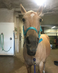 Palomino Quarter Horse for Lease