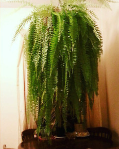 Boston Fern    Giant and healthy.