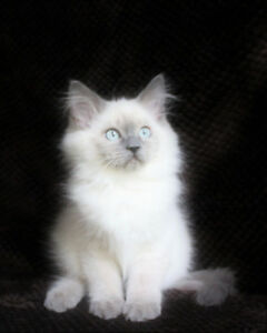 Bluepoint   Male Ragdoll Kitten for Rehoming
