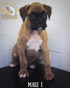 Purebred Boxers - **Only 1 male left**