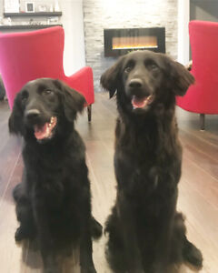 Good home needed for year old Collie/Labradoodle sisters.