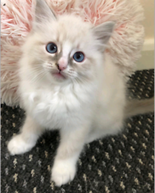 GCCF Registered Blue mitted Ragdoll for sale