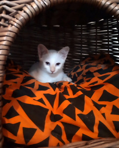 Siamois flame point siamese (males)