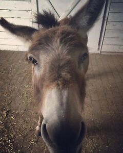 Looking for miniature donkey or pony