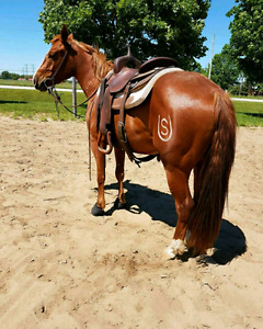 Cutting/cow bred 3 year old gelding
