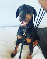 Female Doberman 1.5 years old